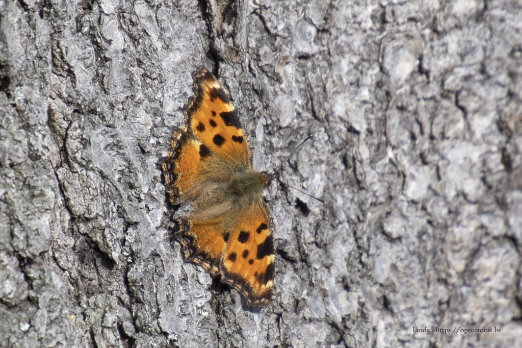 Gehakkelde Aurelia; ook vlinders komen tevoorschijn onder de zachte februarizon.