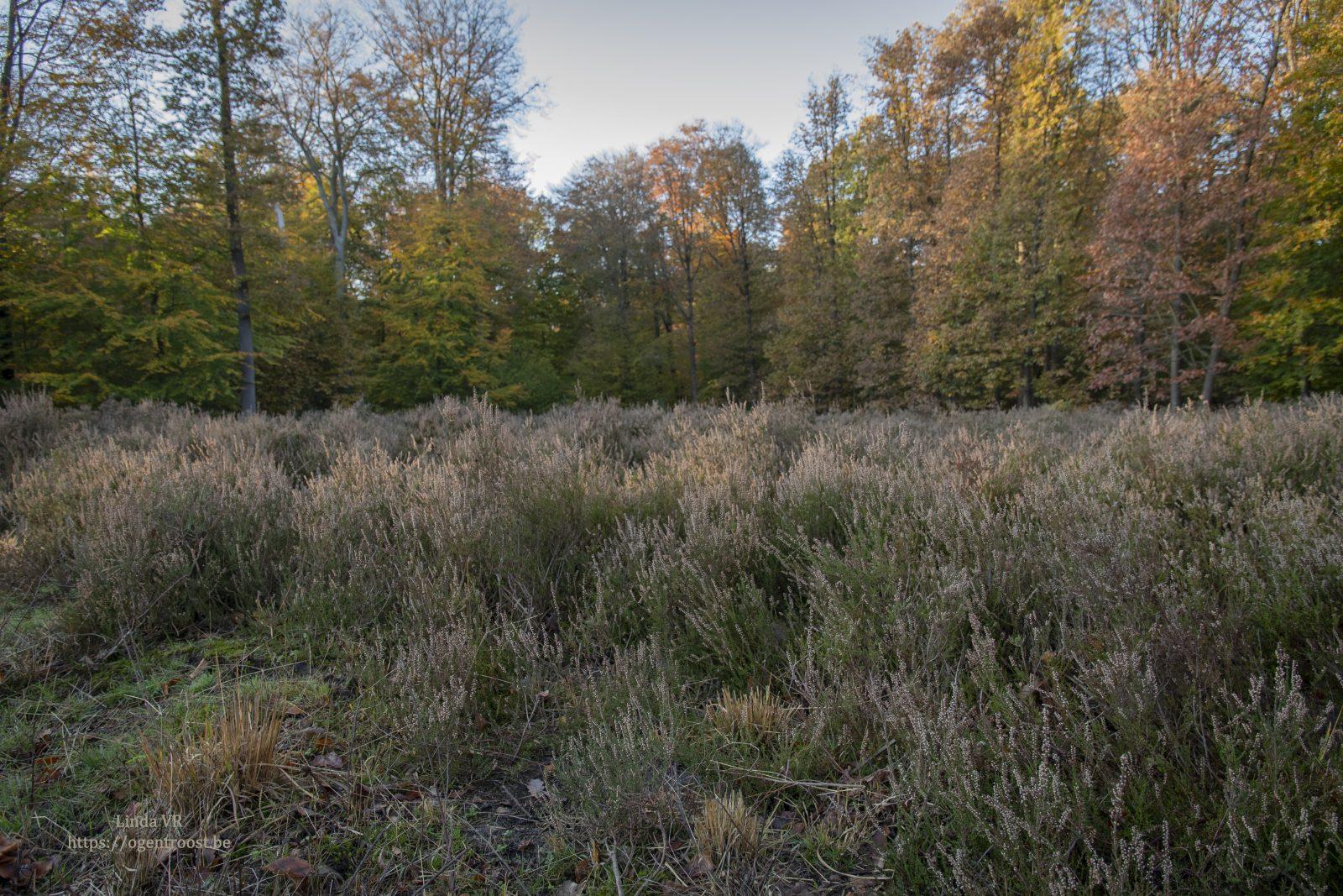 Heide, uitgebloeid