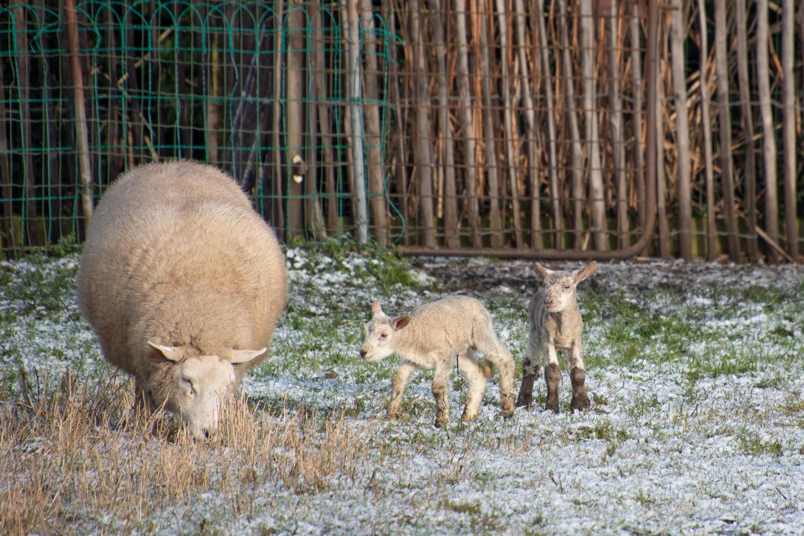 Lammetjes, nieuw leven, in de sneeuw